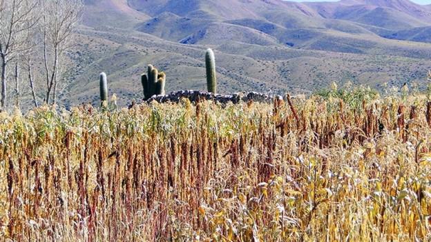 1-cultivos-de-quinua_18264