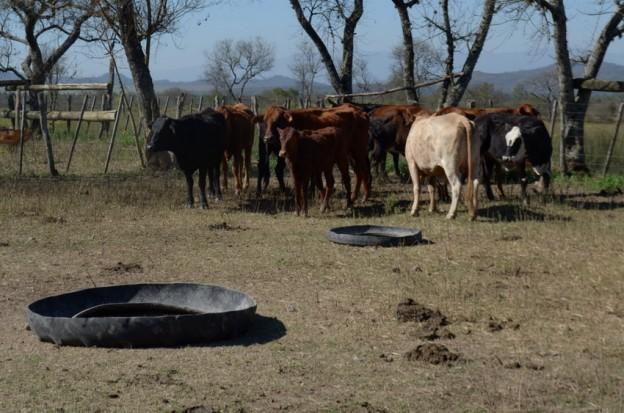 1-vacas finca miguel Royo
