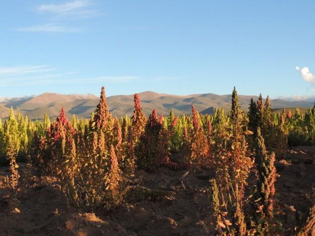 Quinoa chalguamayoc 1