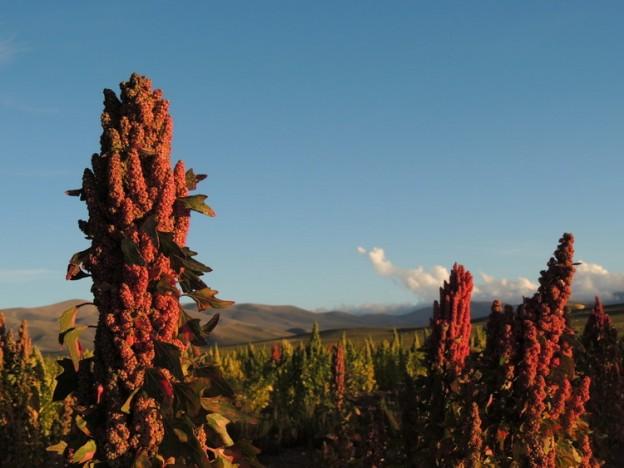 Quinoa chalguamayoc 2
