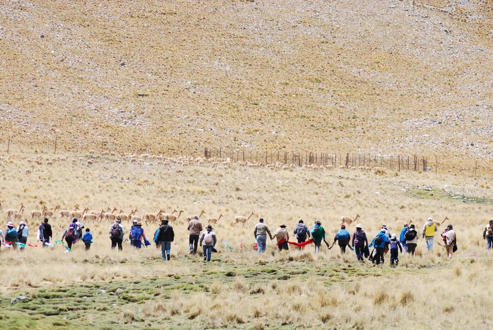 captura de vicuñas 2