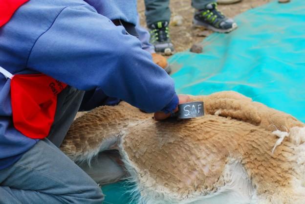 esquila de vicuñas 2