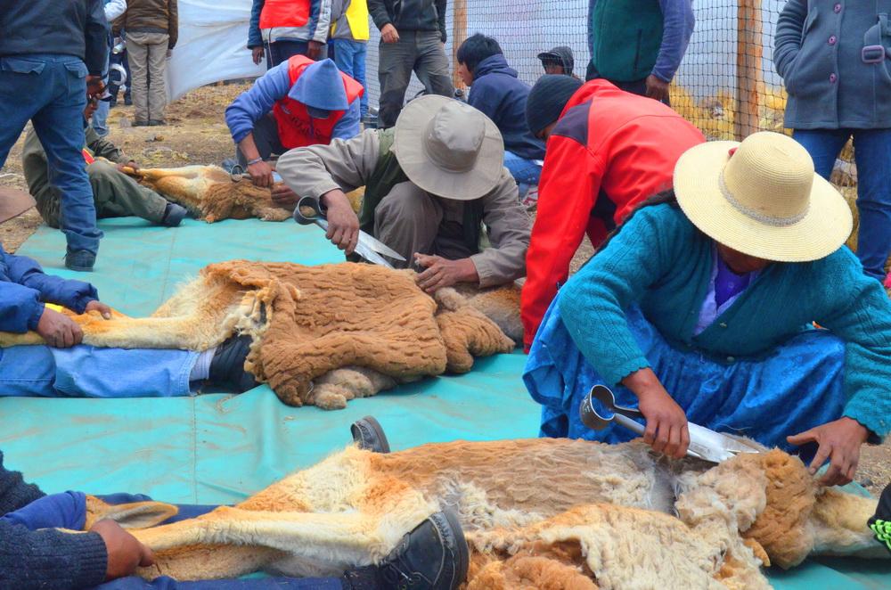 esquila de vicuñas